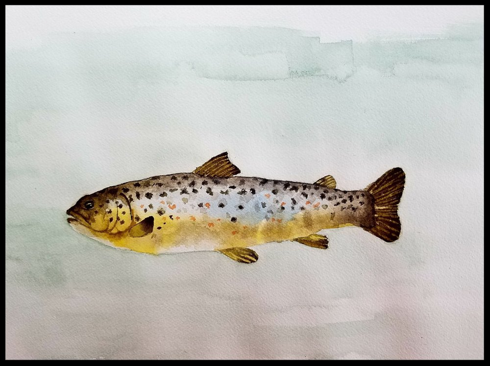 Fish 4--Brown trout juvenile.jpg