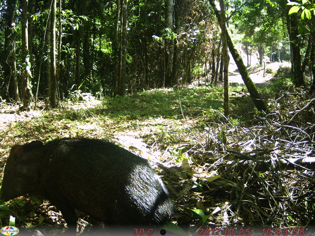 Peccary at Cielo Lodge