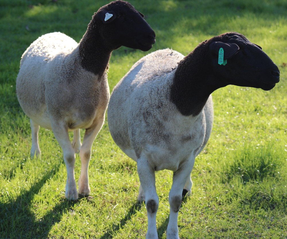 Hickman Family Farm Registered Dorper Ewes