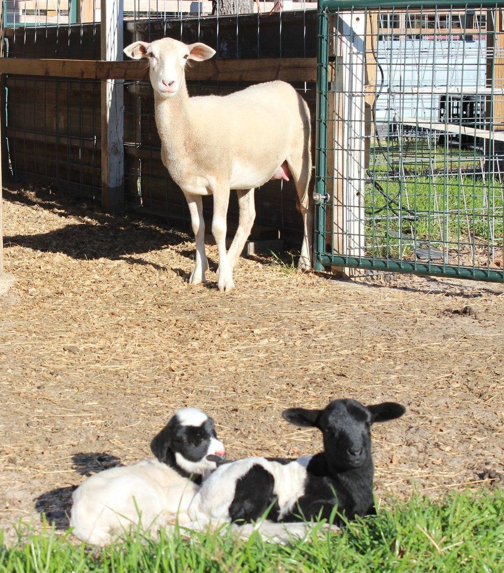 Fullblood Katahdin Ewe with her twin Dorper/Katahdin cross lambs.