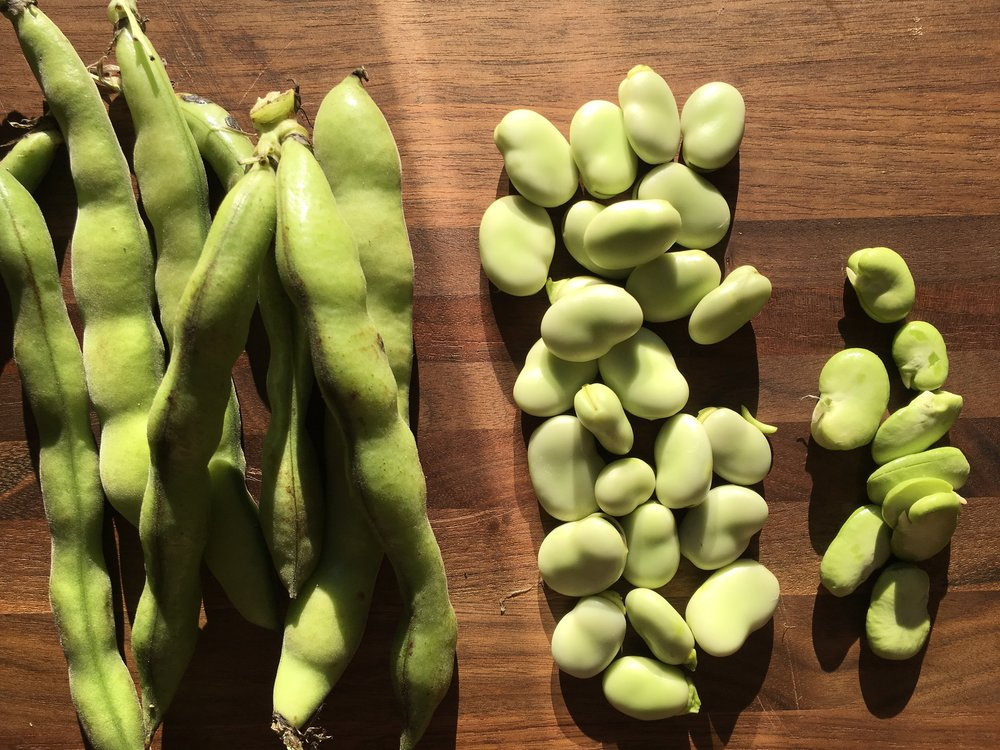 Pictured left to right: Fava beans in the pod, out of the pod, and peeled from the shell
