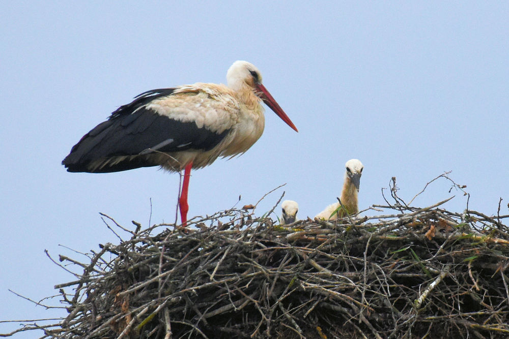 The comeback of the white storks in Lithuania could be seen as symbolic for a renewed sense of hope and stability in the Baltic States. After 50 years of Soviet rule, Lithuania regained its independence from its occupiers in 1990. The country has found its wings.