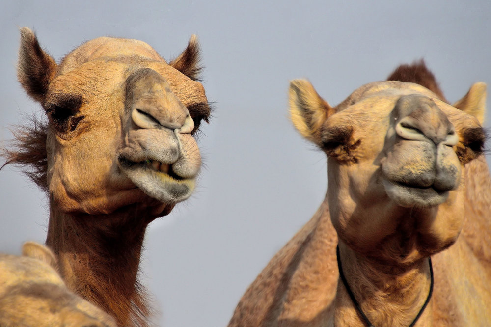 Camels at a ranch for racing camels south of Dubai.