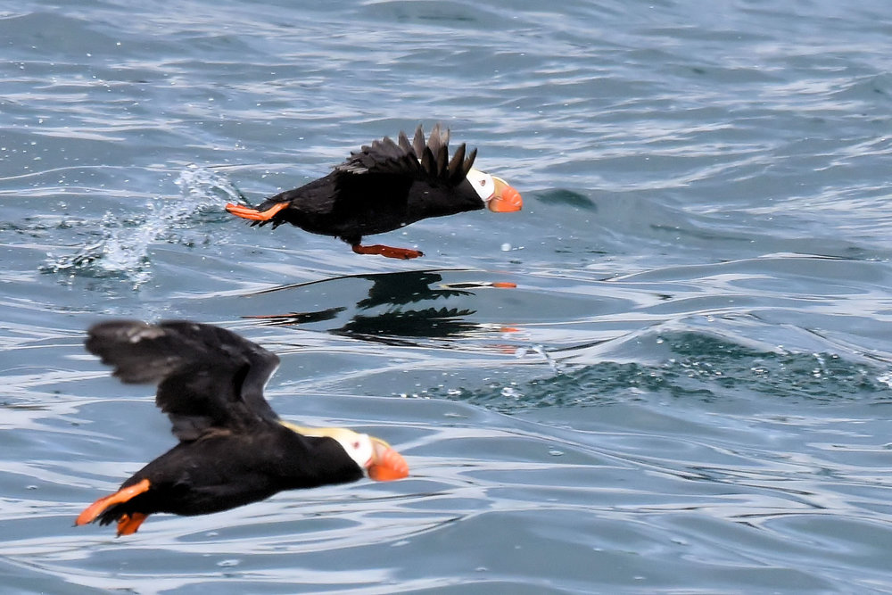 "Getting airborne from water is a real challenge for the puffins. They give a whole new meaning to the phrase ""walking on water""."