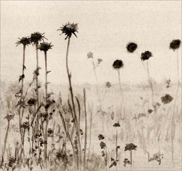 Thistles, Hollister Ranch #2 5x5 ink on paper   2009