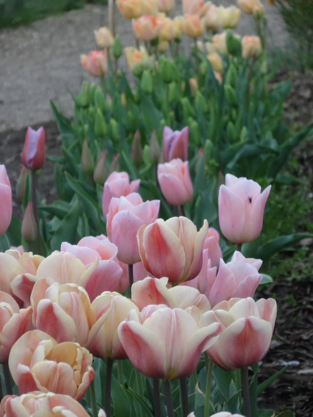 April flowers 14 208.jpg