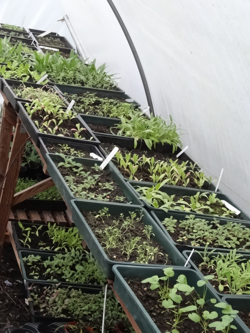 seed trays in the polytunnel