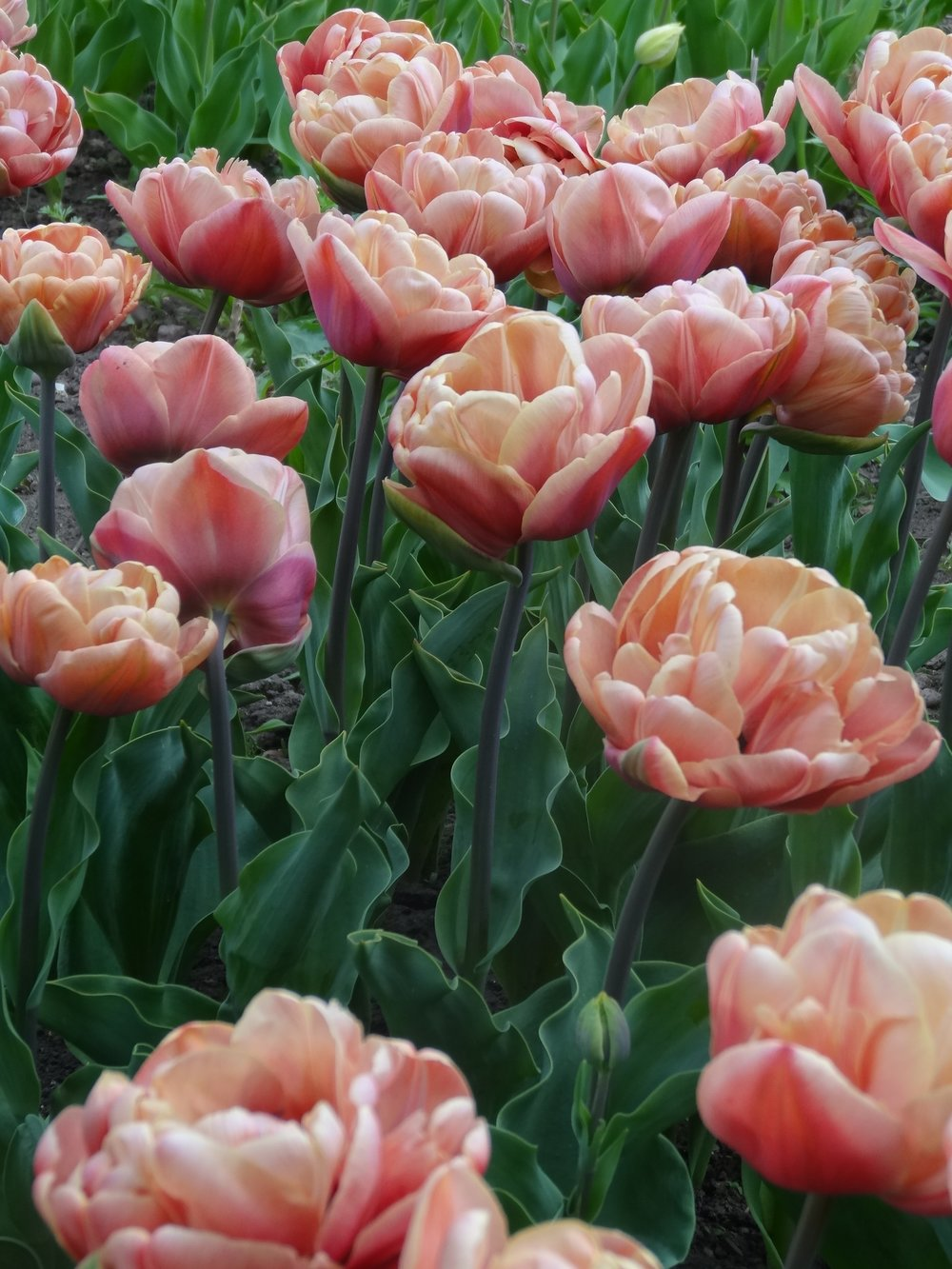 Belle Epoque tulip in the cutting garden