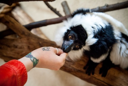 Feeding a Black and White Ruffed Lemur at the Millbrook Trevor Zoo