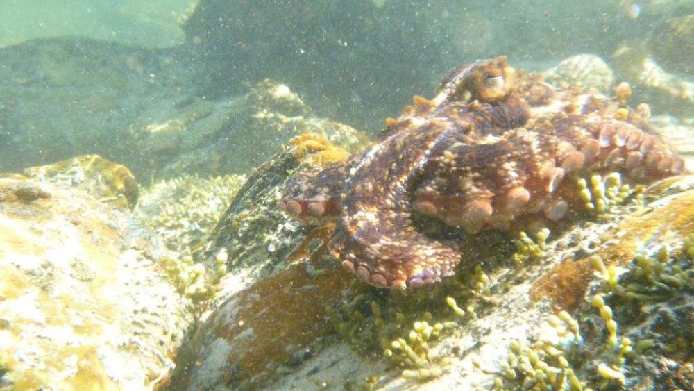 rsz_octopus_tetricus_by_colin_silvey_3.jpg