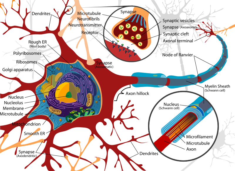 Anatomy of a neuron (Source Wikimedia Commons)