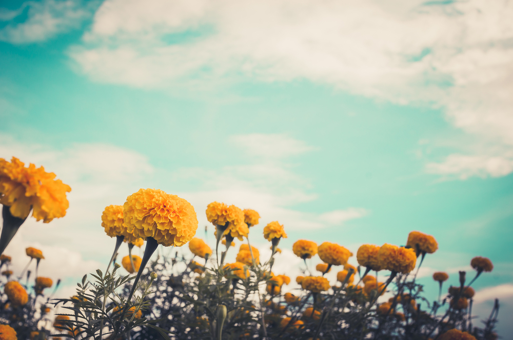bigstock-Marigolds-Or-Tagetes-Erecta-Fl-67561906.jpg