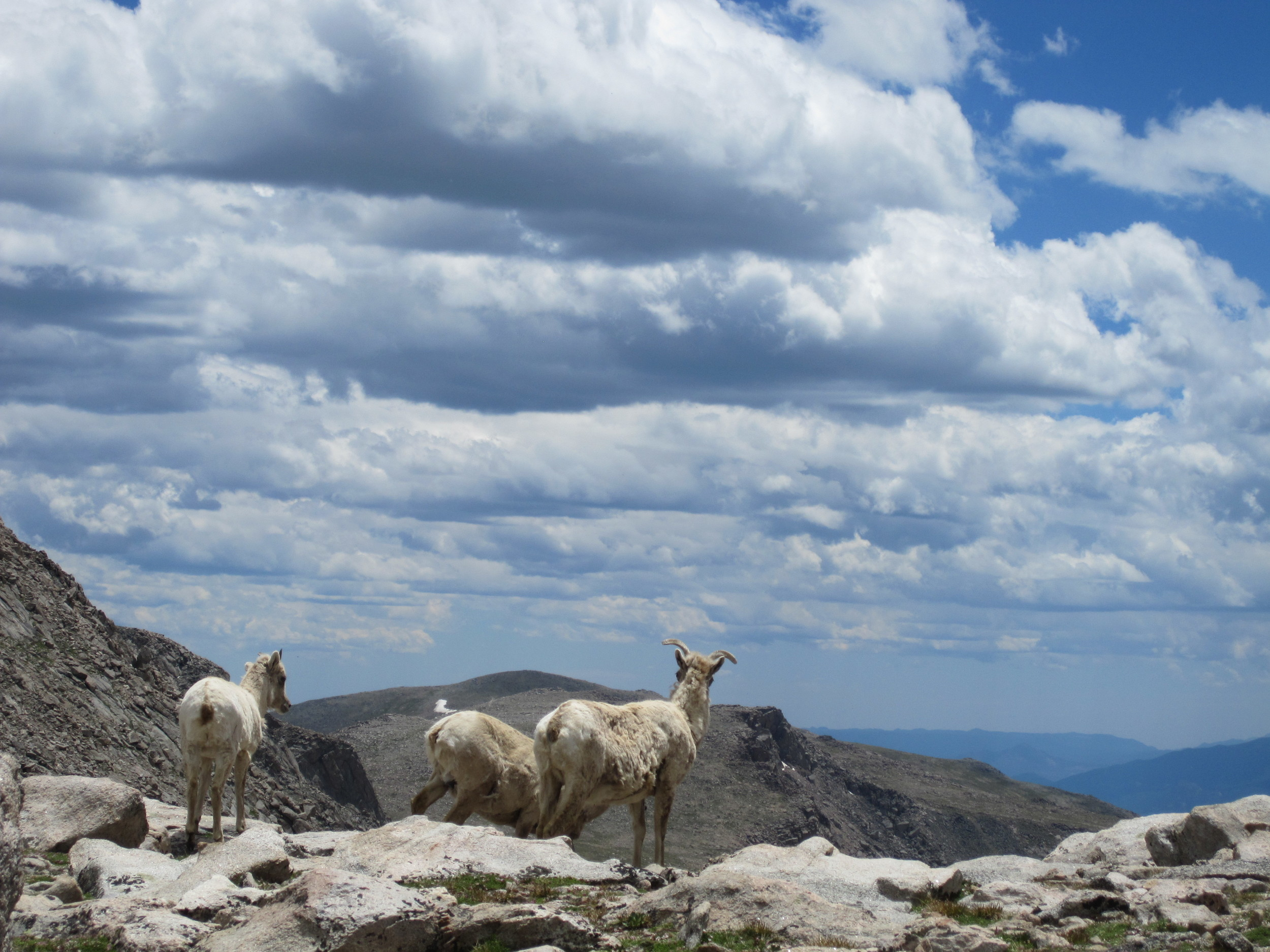 A photo of mountain goats near Mt. Bierstadt