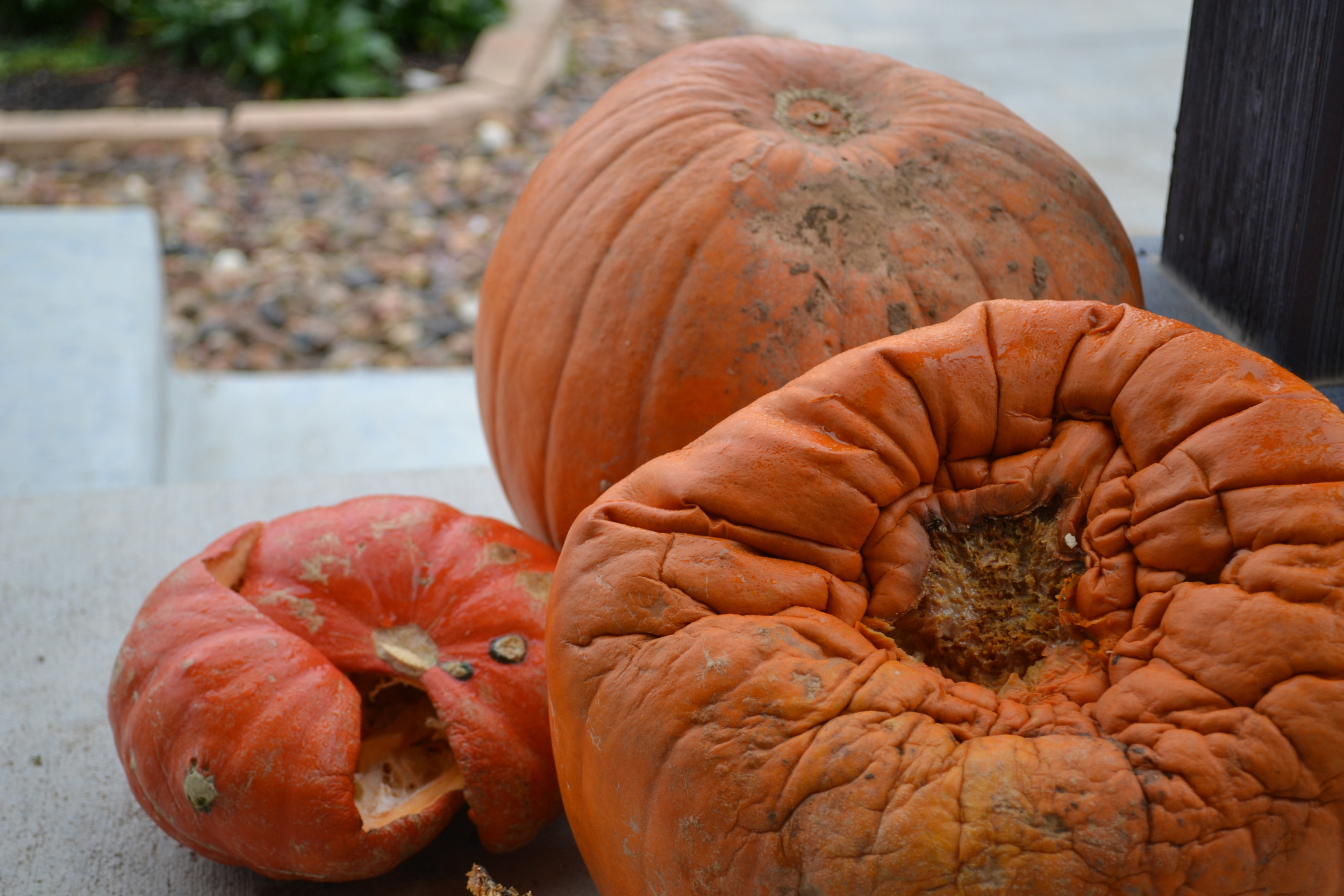 A picture of some rotting pumpkins in Colorado