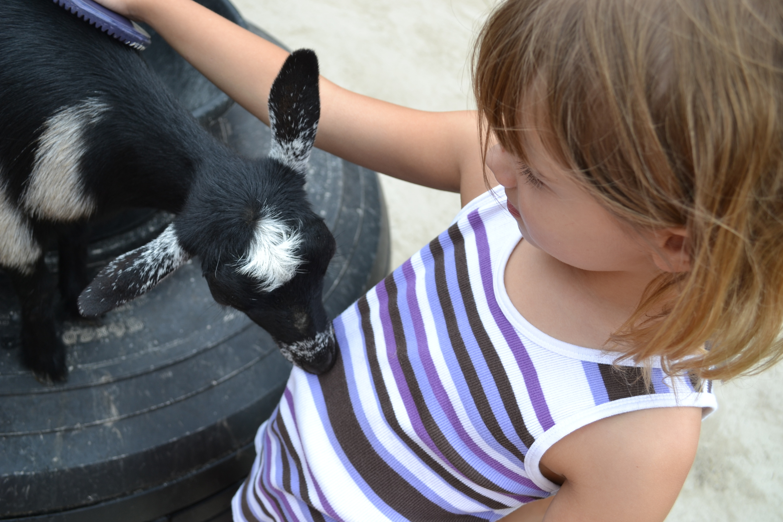 A picture of a goat nibbling a girl's shirt