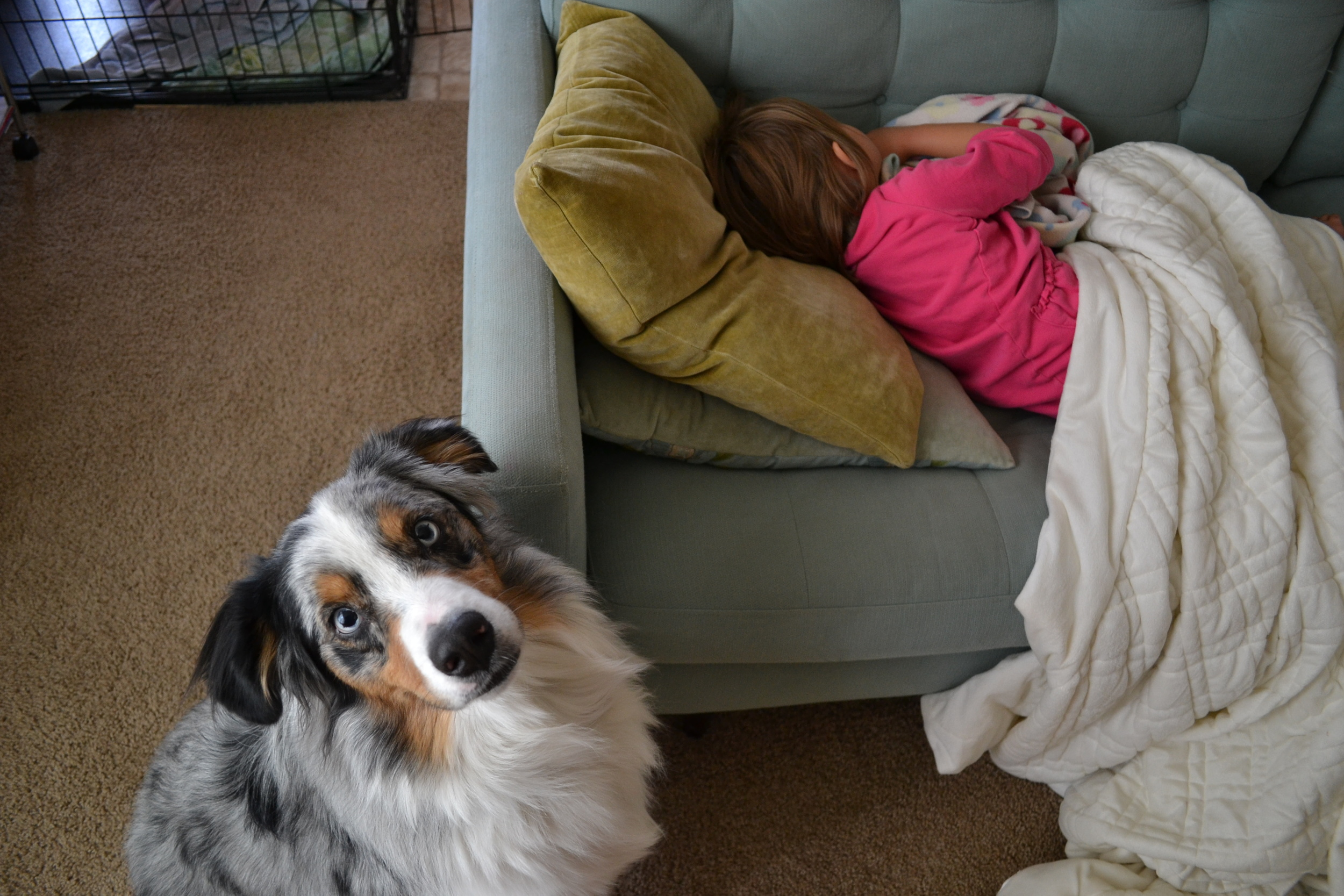 An Australian shepherd and sleeping child