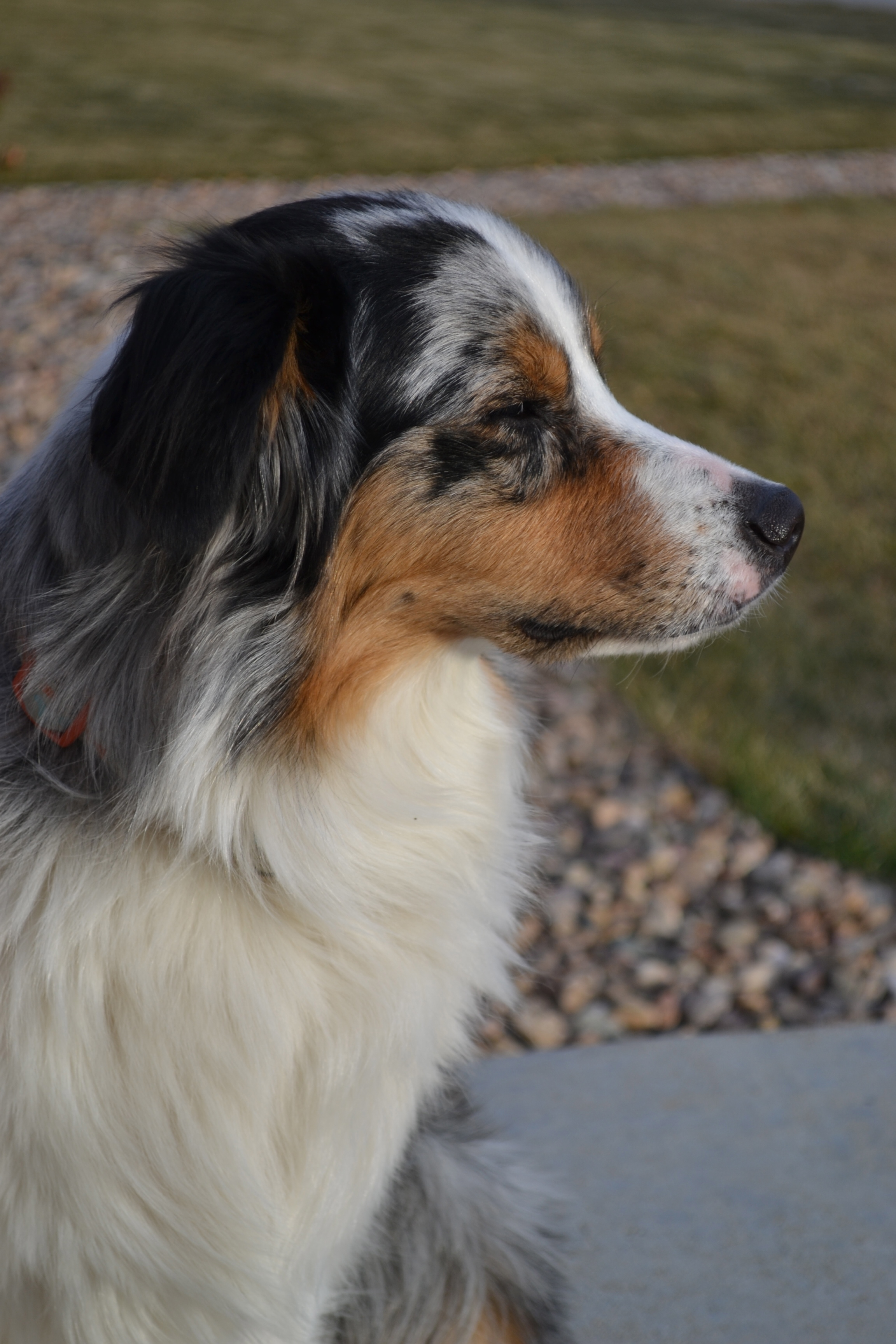 A picture of an Australian Shepherd