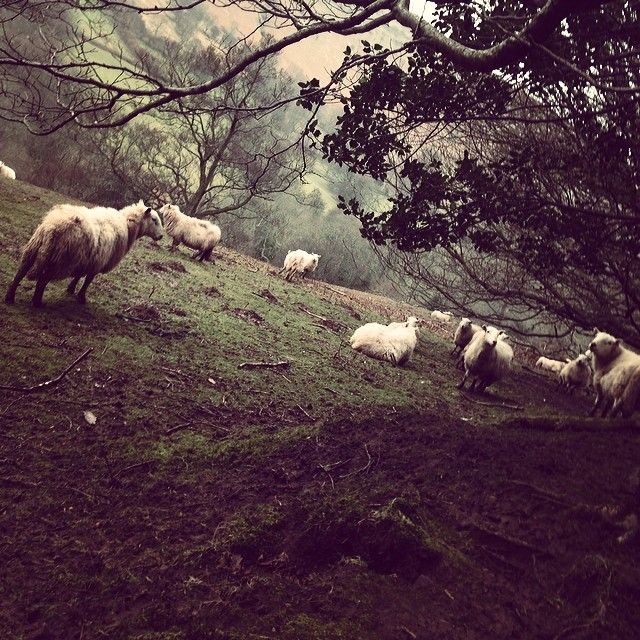 So many sheep on black mountain.. It's very sleepy hallow over here (at Black Mountain)