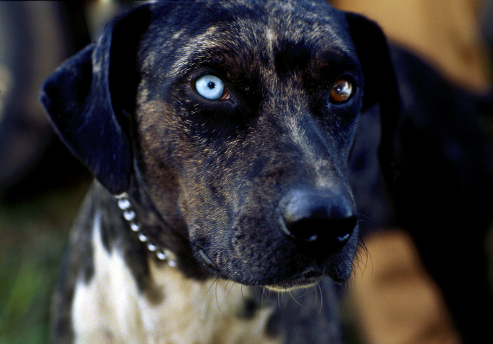 Catahoula Black