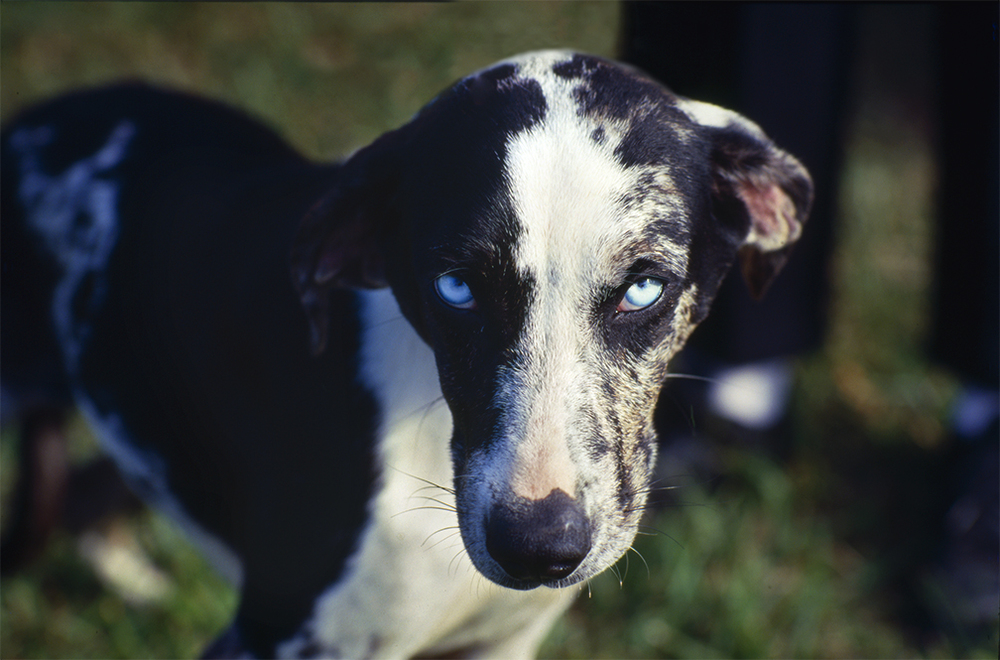 Catahoula Blue