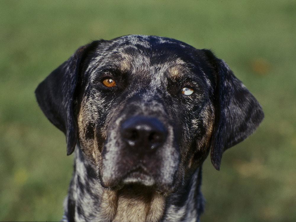 Catahoula Green