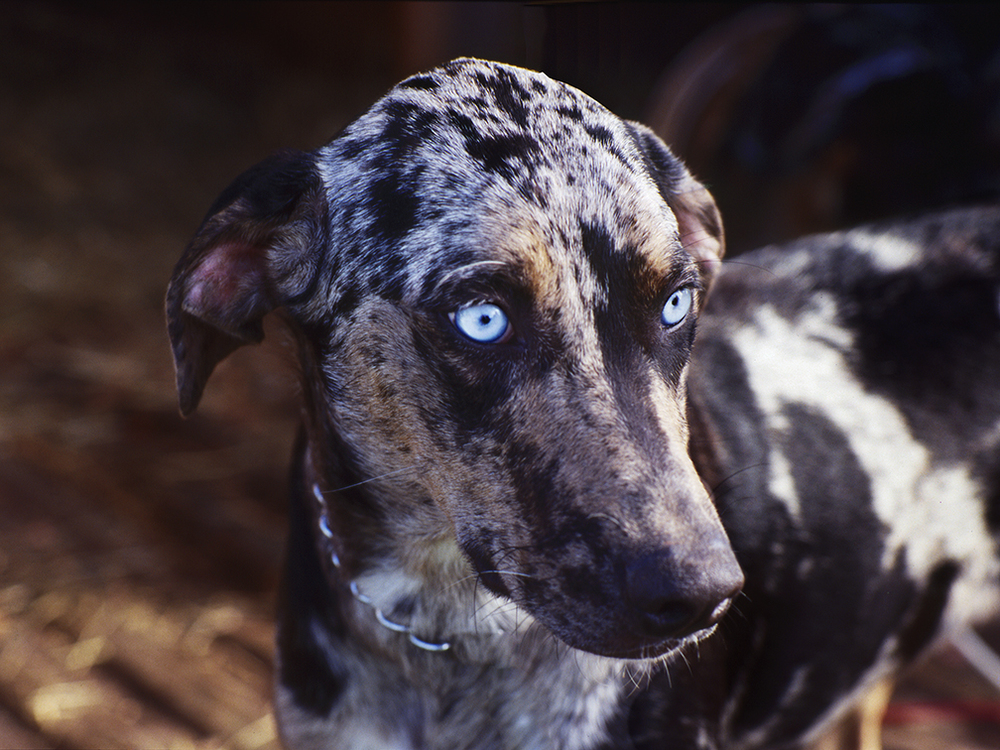 Catahoula Red
