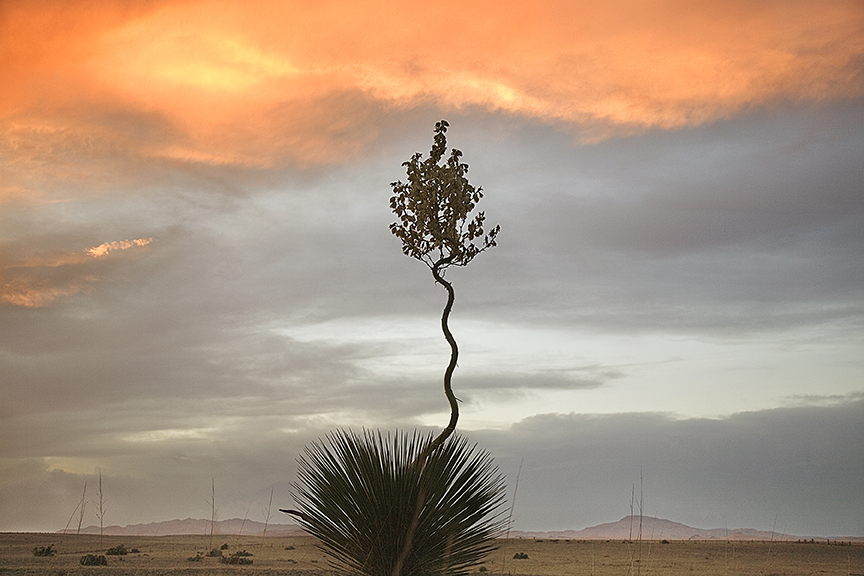 Yucca Loco