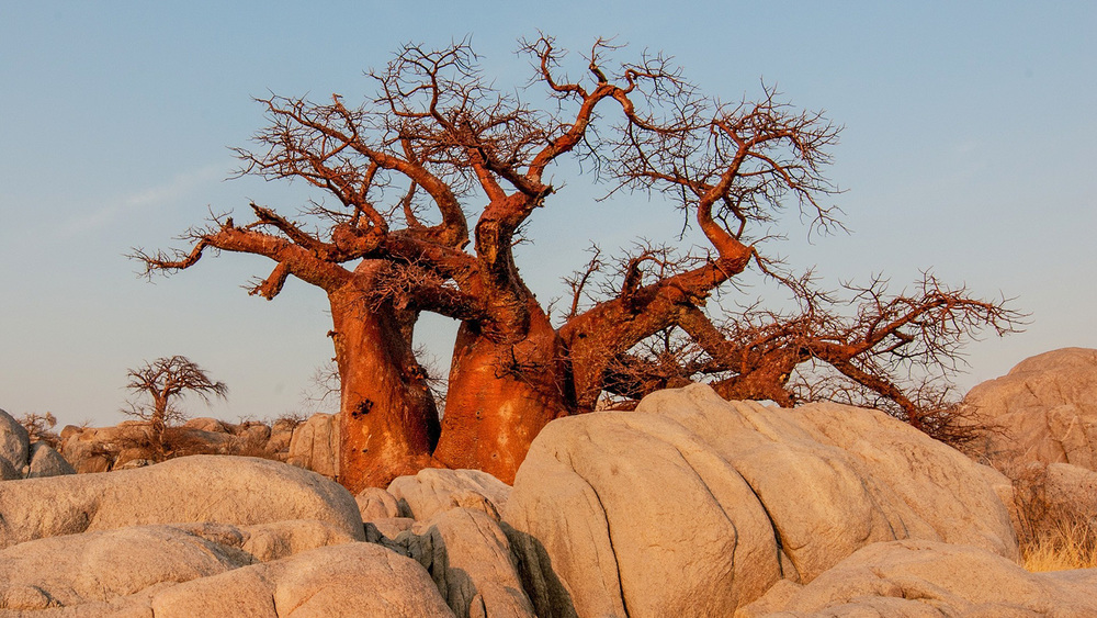 Botswana Baobab Tree sunrise