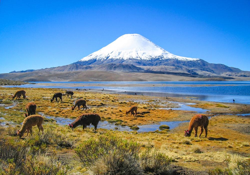 Chile, Parinacota Volcano, Alpaca