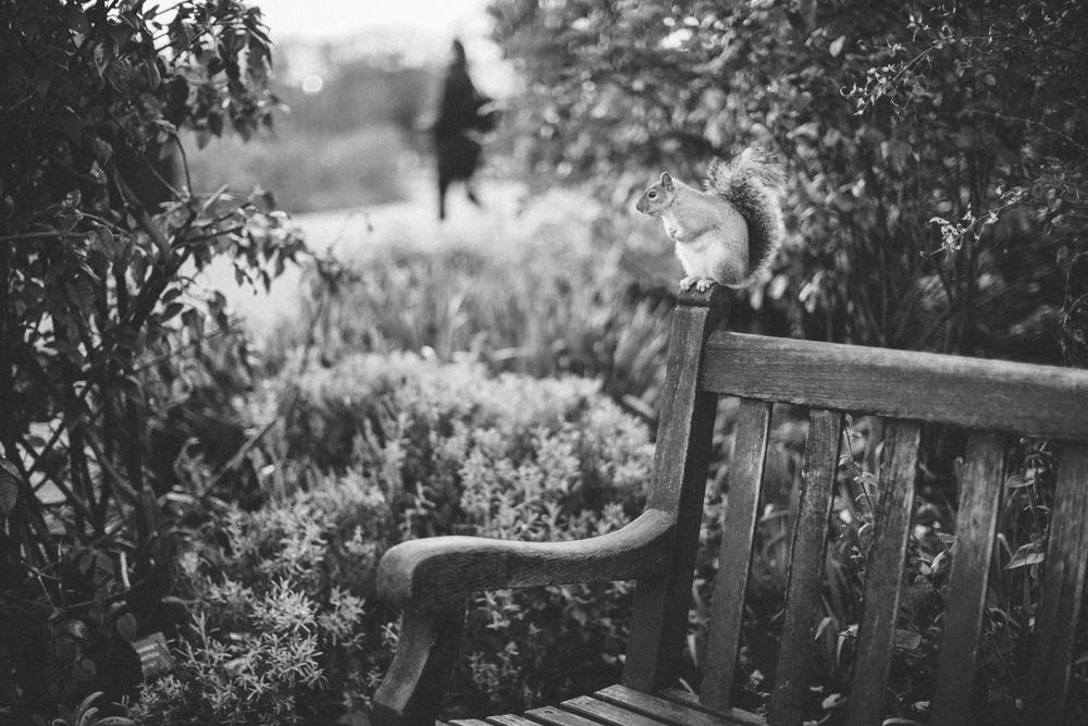 Squirrel in Rose Garden.