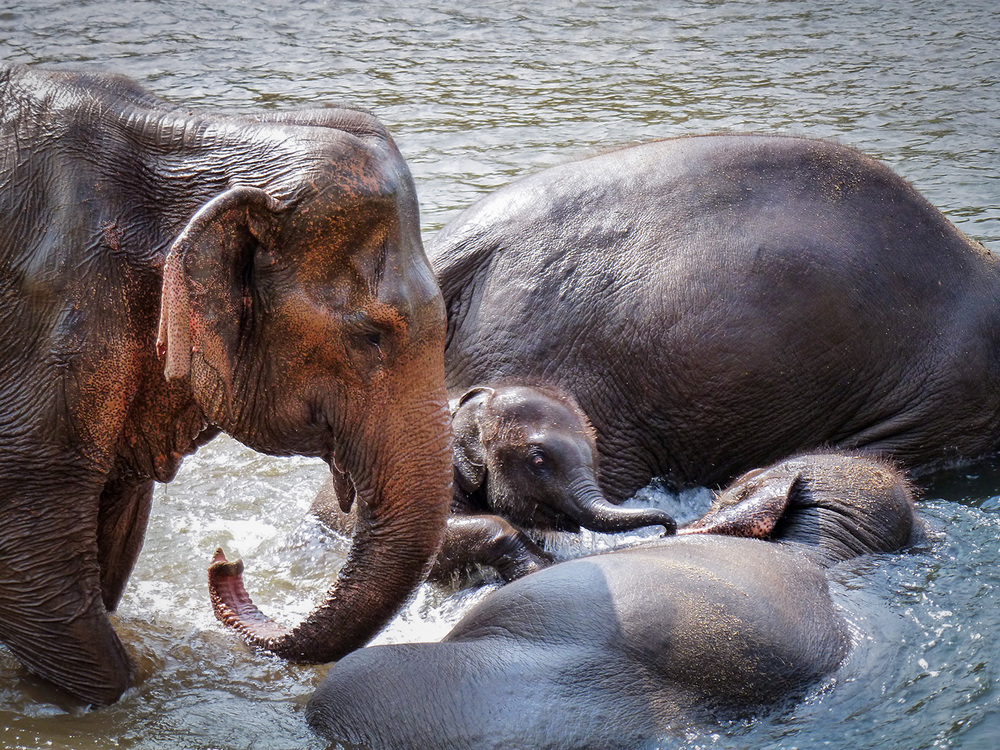 Elephants bathing at Elephant Nature Park.jpg