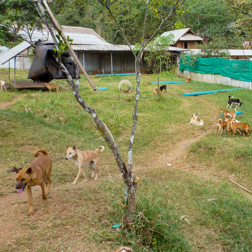 Shelter Dogs at Elephant Nature Park.