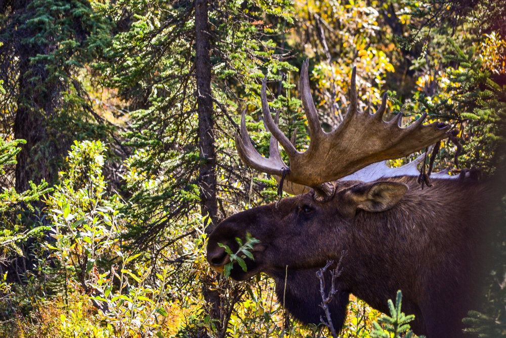Moose in Denali National Park. Photo Credit Julia Reynolds