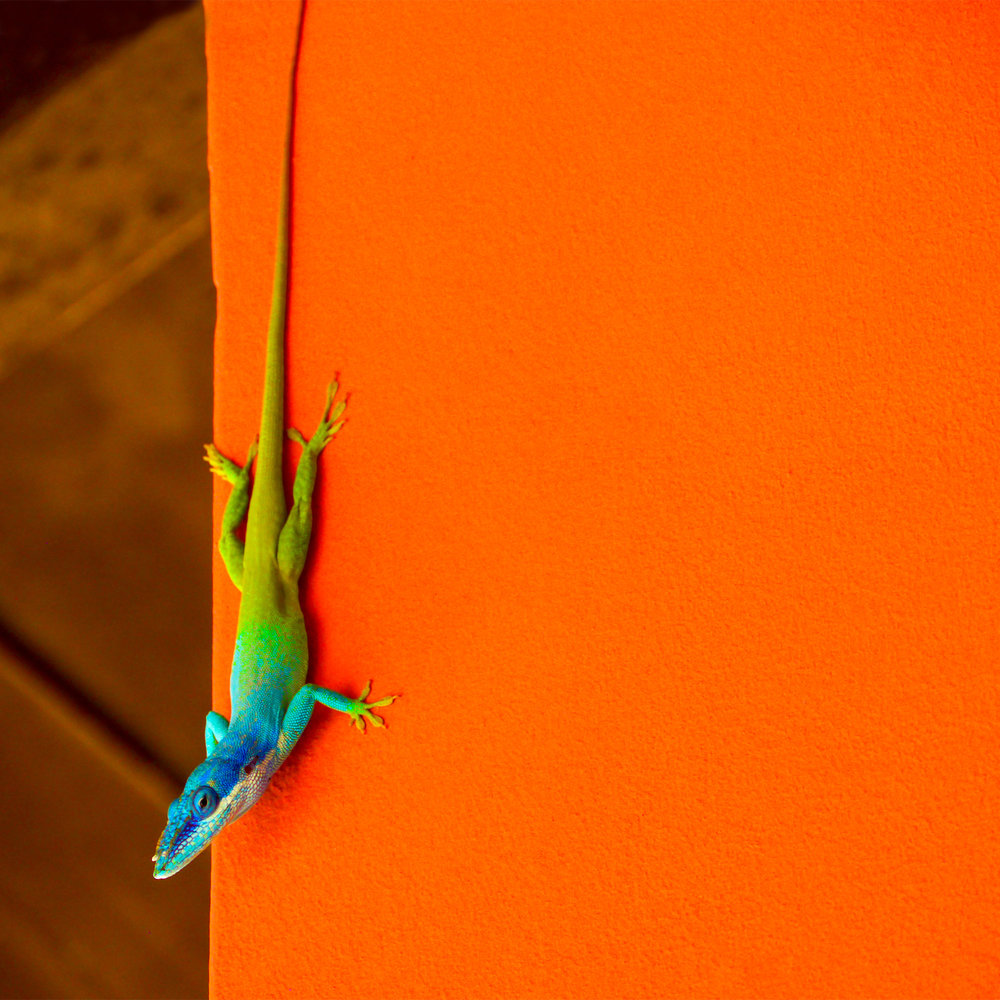 Allison's anole at Melia Buenavista. Photo by Johanna Read TravelEater.net.jpg