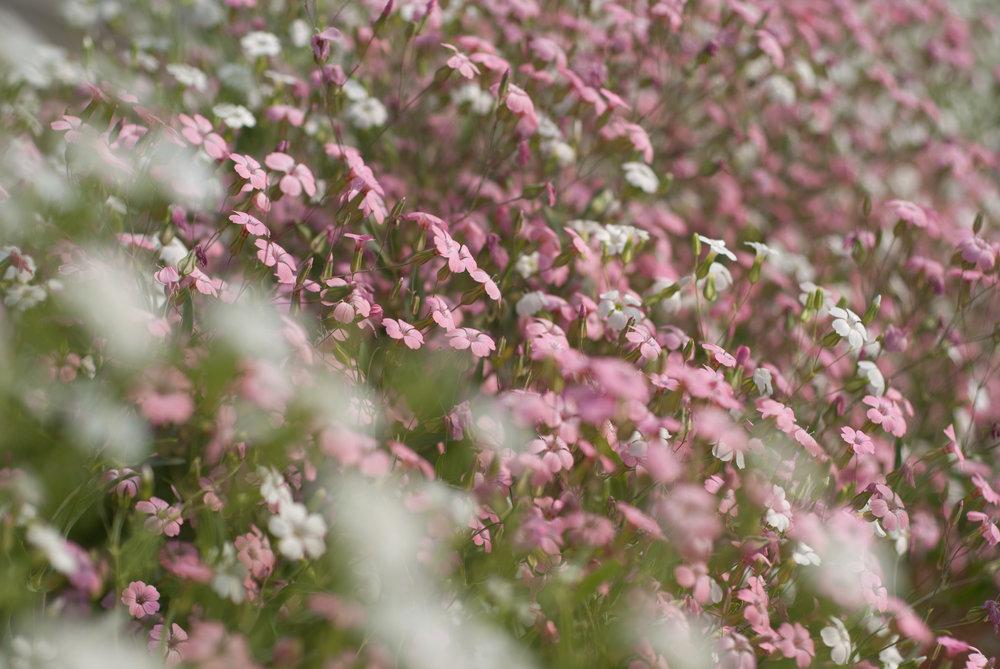 pinkwhiteSQ.jpg