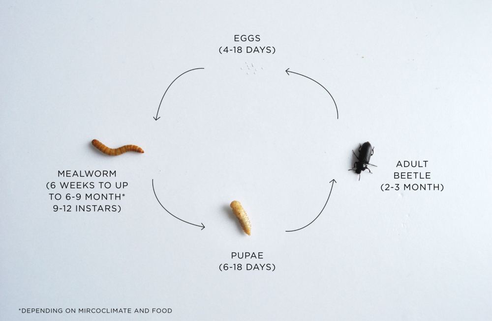 This is how the mealworm life goes