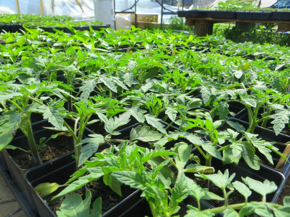 tomatoes in greenhouse.jpg