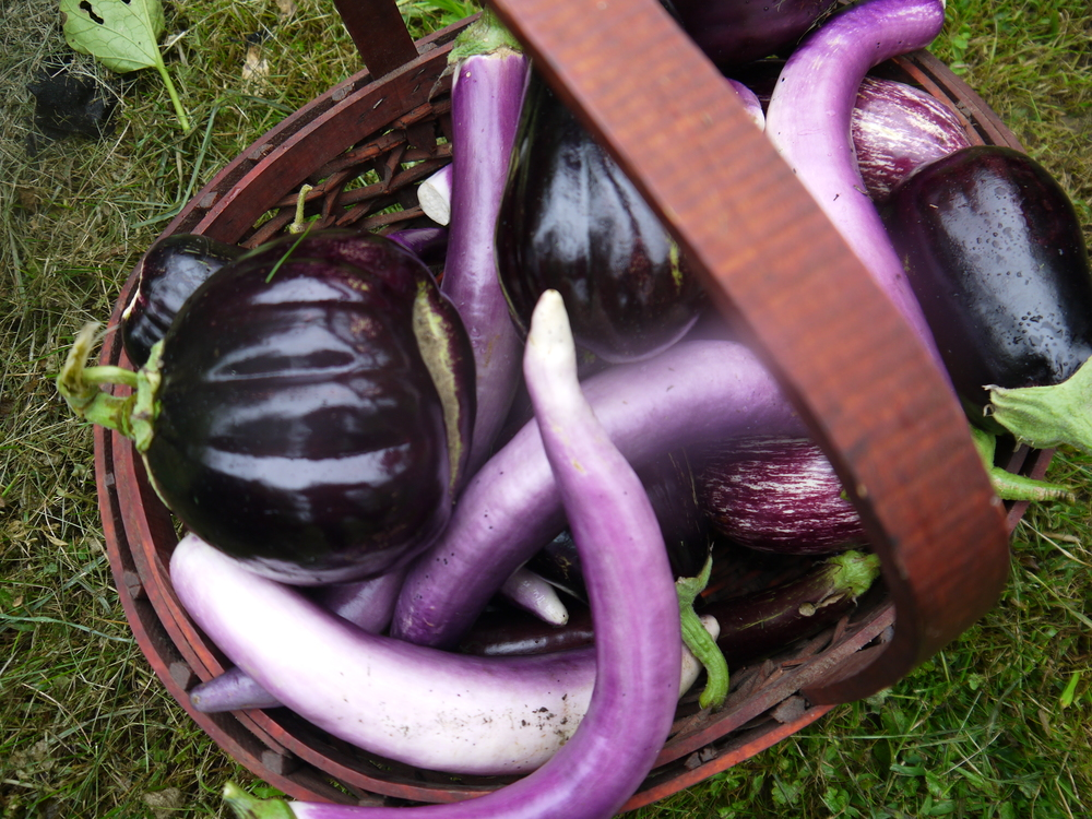eggplant harvest in basket2.JPG