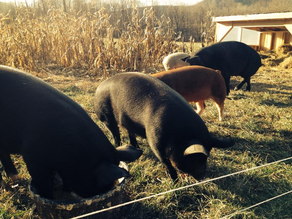 Pigs grazing at Understory Farm. Photo by Jessie Witscher