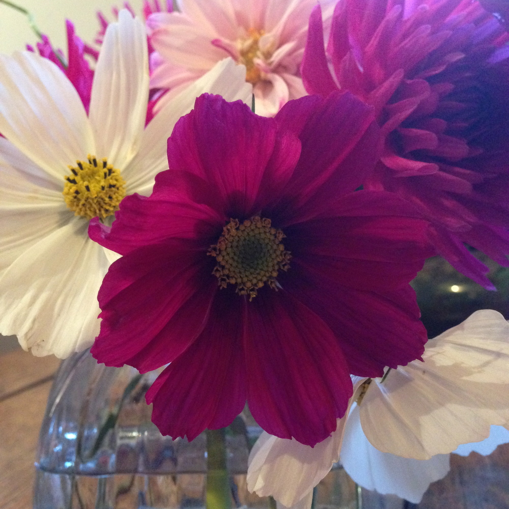 Cosmos and dahlia picked from the garden today
