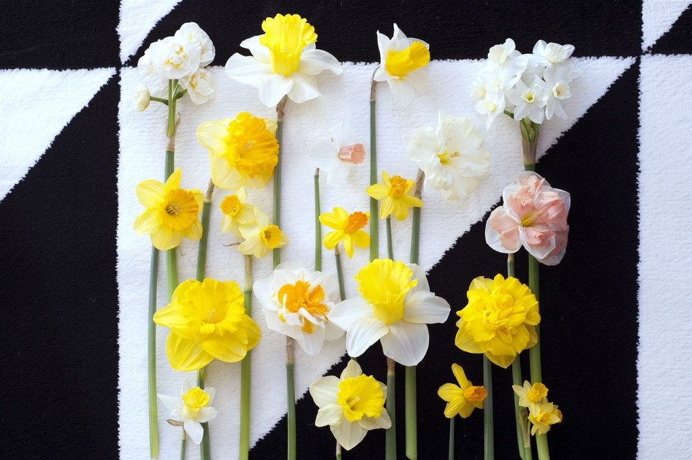 Bloomologie narcissi laid out.jpg