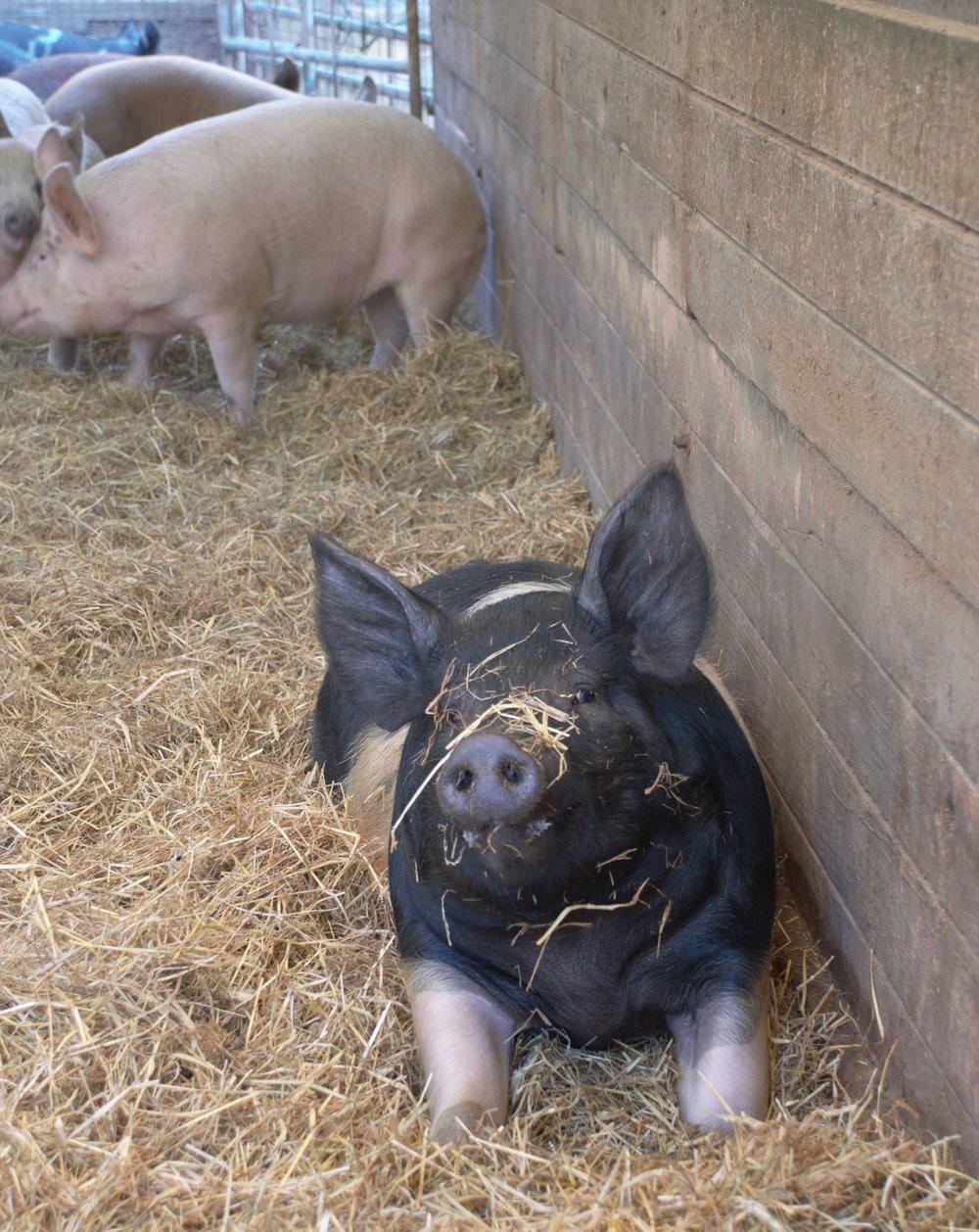 piglet in hoop house cropped.jpg