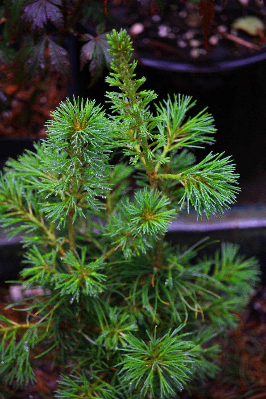 Kokonoe seed (1).JPG