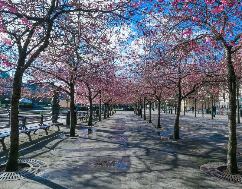 Пока в восточной алее сакуры цветы вишни только начинают распускаться...(22 апреля 2016)