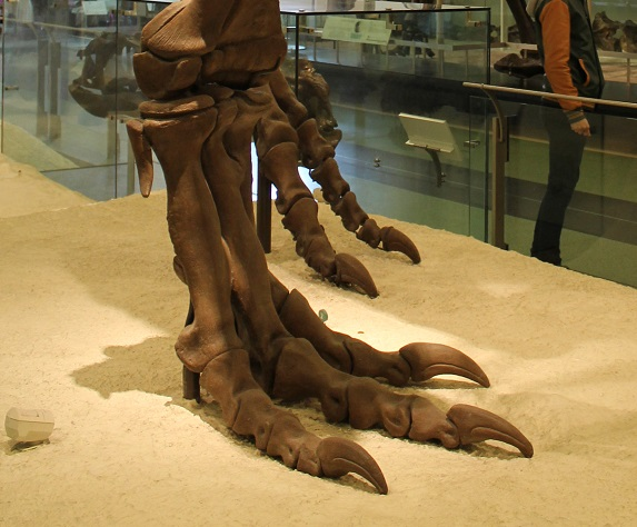 Casts of the foot bones of the T-Rex at the American Museum of Natural History. (Image courtesy of Ben at  ExtinctMonsters.net .)
