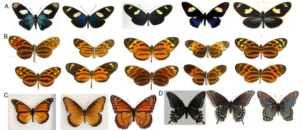 Examples of imprecise mimicry in butterflies. A) An Ecuadorian mimicry ring that includes species in the family Nymphalidae and Papilionidae. B) Just a few examples of the extensive 'tiger pattern' mimicry of the Amazon. C) The common Monarch, Queen, Viceroy mimicry system of North and Central America. D) A blue mimicry ring of southern United States, focused on the toxic Pipevine Swallowtail.