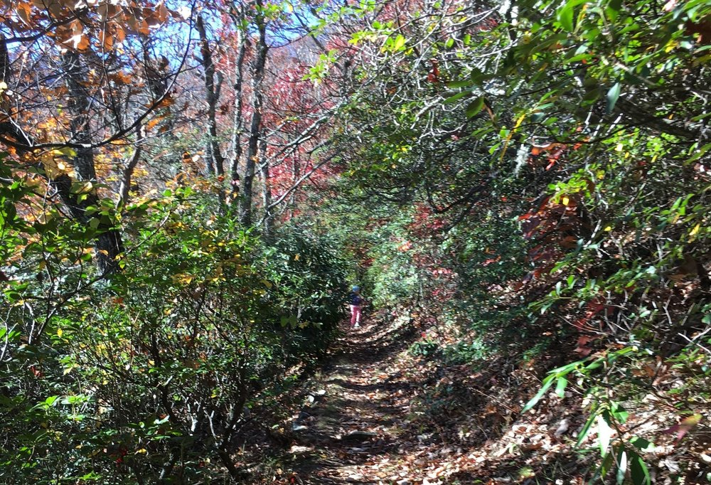 A mountain laurel tunnel near Big Ridge Overlook