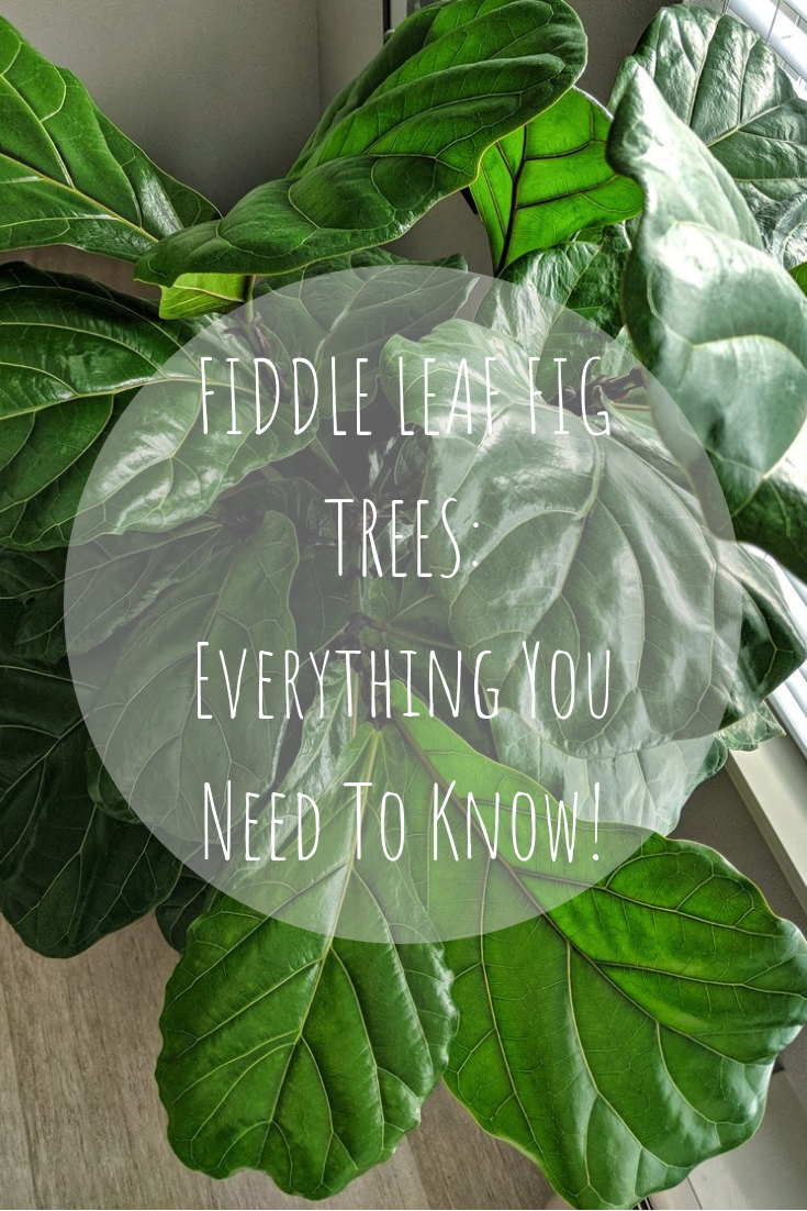 Fiddle Leaf Fig Tree Pin Style By Julianne