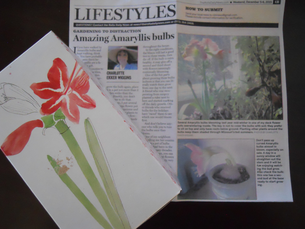 my gardening to distraction article on how to care for amaryllis bulbs explains how to care for these south american flowers.