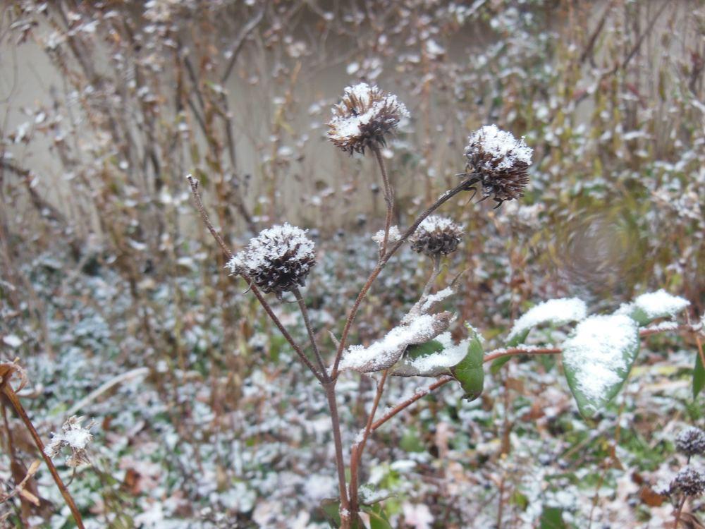 Snow-covered Black Eyed Susan perennials under one of my bay windows.
